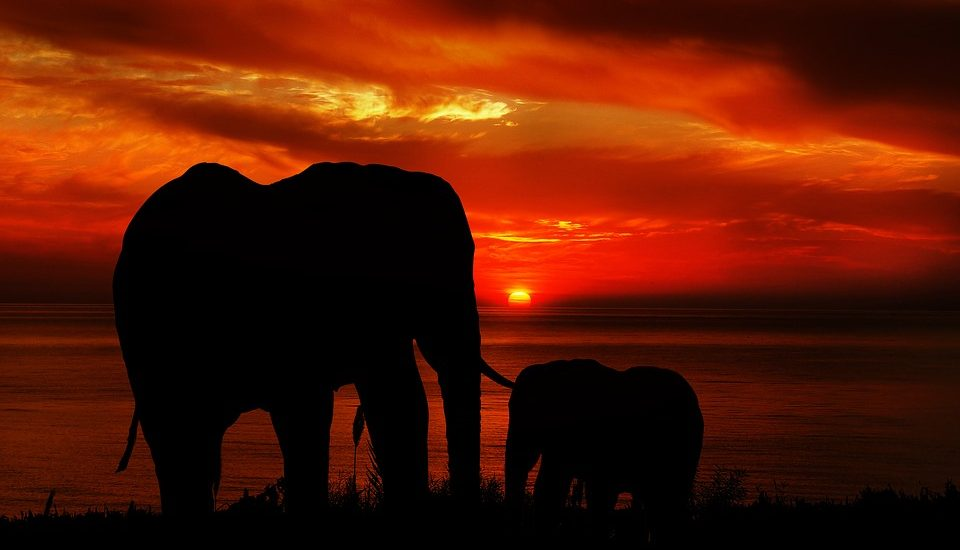 Le langage des éléphants